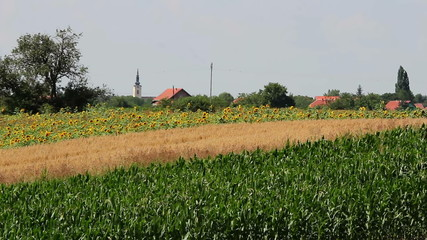Countryside Landscape With A Crop Ripening In The Field