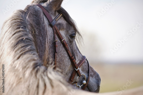 Poster Portrait of a stallion