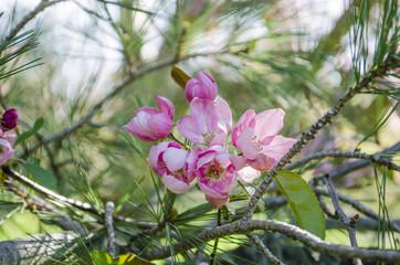 Chilko Crab Apple Tree
