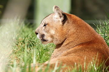 beautiful mountain lion at the zoo