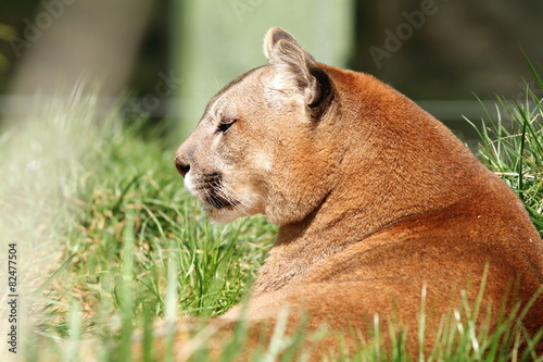 Foto op Plexiglas Puma beautiful mountain lion at the zoo