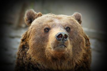huge bear portrait