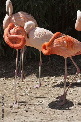 Foto op Canvas Flamingo phoenicopterus ruber ruber red flamingo
