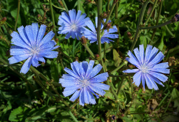 Blossoming wild flowers chicory