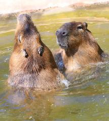 Couple of The Capybara  (Hydrochoerus hydrochaeris ).