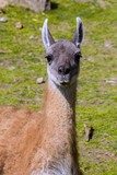 portrait of a female guanaco Lama guanicoe