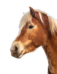 Head of a cute and proud brown horse isolated on white