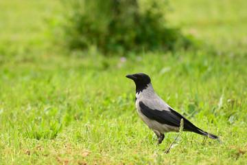 cornacchia grigia (Corvus cornix) su prato
