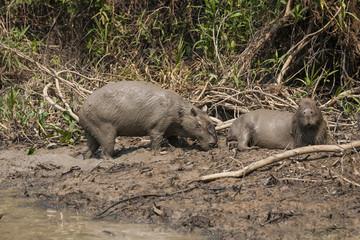 Muddy Male(Scent Gland) and Female Capybaras on Mudbank