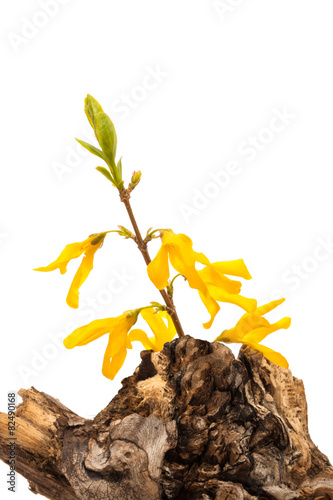 Tuinposter Olijfboom forsythia flower on a dry stump