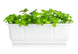 Leaves basil in white bucket. Isolated on white background