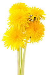 dandelions isolated on a white background