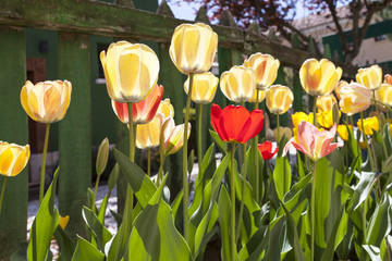 Tulips and Green Fence