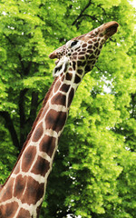 Giraffe eating green leaves on the tree in Kiev zoo, Ukraine