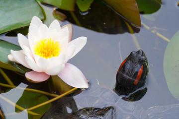 Turtle & lotus flower