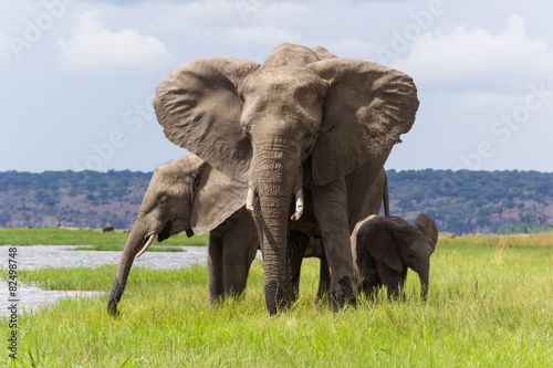 Canvas Afrika African Elephant Family in Chobe National Park in Botswana