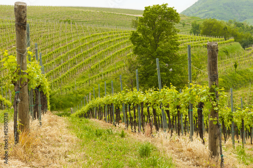 In de dag Wijngaard Vineyards at Euganean hills, Veneto, Italy during spring