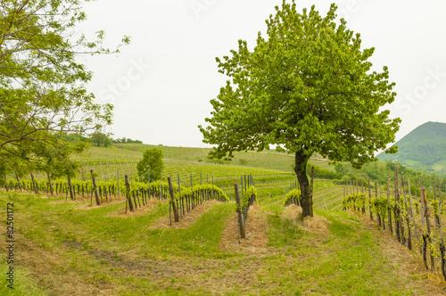 Spoed canvasdoek 2cm dik Wijngaard Vineyards at Euganean hills, Veneto, Italy during spring