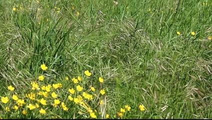 Boutons d'or en prairie au printemps