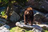 Blue Ridge Mountains Black Bear