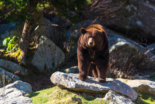 Foto Spatwand Dragen Blue Ridge Mountains Black Bear