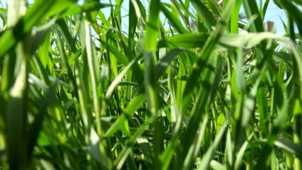 Green spring grass macro footage