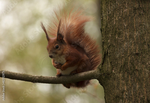 Deurstickers Eekhoorn squirrel on branch of tree in park