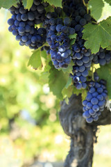Red wine grapes growing in a vineyard.