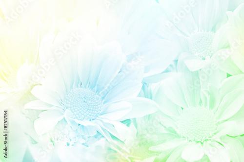 Fototapeta Spray Type of Chrysanthemum (Dendranthemum grandifflora) with Soft Focus Color Filtered as Background.