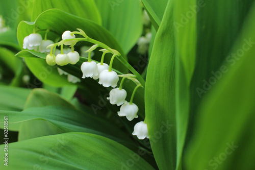 Papiers peints Muguet de mai Lily of the valley, which bloom in the garden