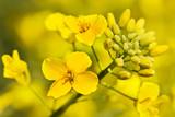Fototapety Canola flower
