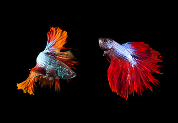 two of beautiful color betta fighting fish preparing to fight on