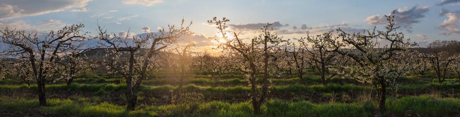 orchard at dawn