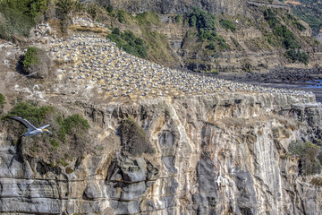 Gannet habitat at Muriwai, New Zealand