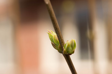 Tree branch with buds close up