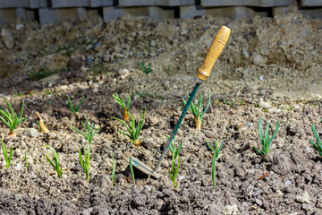 Hacke steckt in Erde neben Frühlingszwiebeln