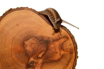 lumaca su legno