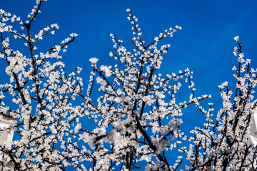 Led cherry tree twigs over blue sky