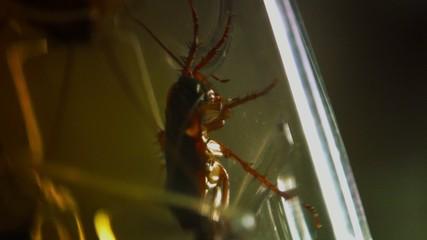 cockroaches. Periplaneta americana,captive into the kitchen