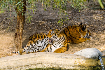 Tigers in the shade