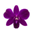 Close-up of single purple Orchid flower on white background.