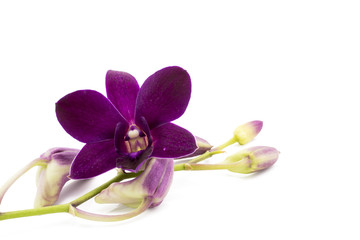 Blossom purple orchid is isolate on whte background