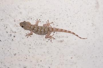 Salamanquesa común postrada en la pared