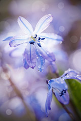 Spring blue flowers close up - a Scilla Siberica