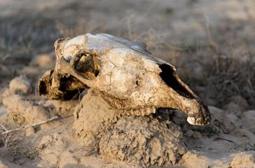 skull horse on nature