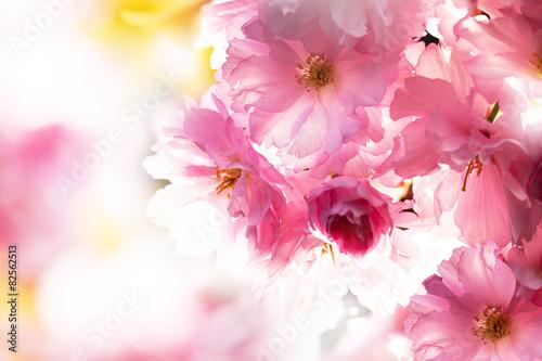 Naklejka Sakura. Cherry Blossom in Springtime. Beautiful Pink Flowers
