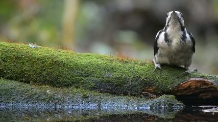 Great spotted woodpecker drinking water
