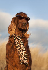 Funny Irish Setter with sunglasses and scarf