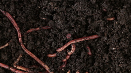 Earthworms moving in the soil