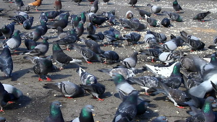 Urban hungry pigeons eating bread and grains